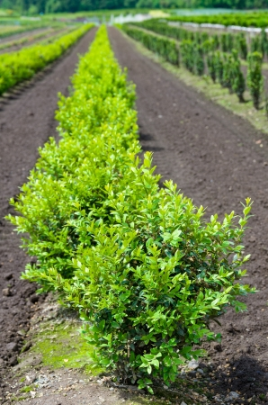 boxwood: A row of boxwood plants growing in a nursery