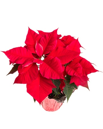 Red poinsettia flower isolated on white