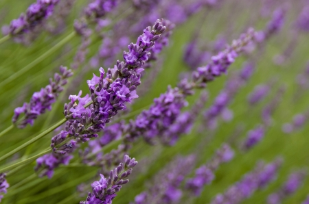 Field of lavender flowers in bloom