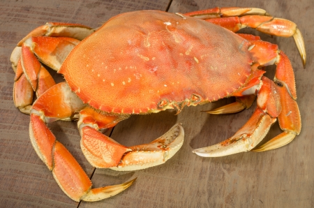 A Dungeness crab ready to be cooked photo
