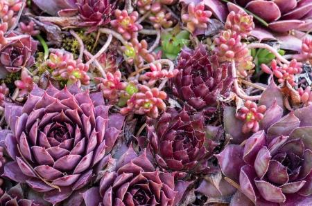 Sedum plantes utilis�es pour un projet de toit vert