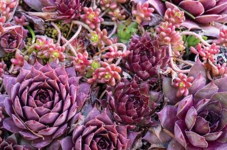 Sedum plants used for a green roof project Stock Photo