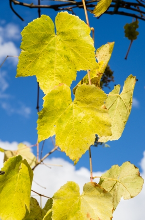 fading: Fading yellow grape leaves on the vine show fall is near