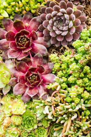 Sedum and sempervivium plants suitable for green roof applications