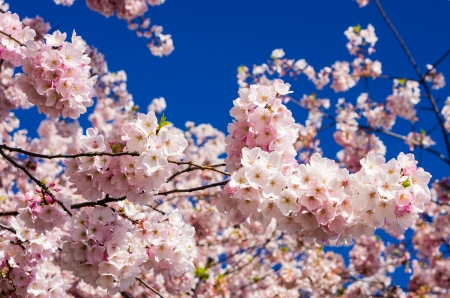 Pink flowering cherry trees with deep blue sky