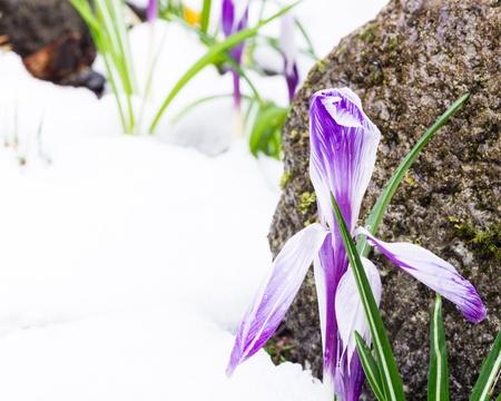 despite: Crocus flowers bloom despite a fresh snow fall