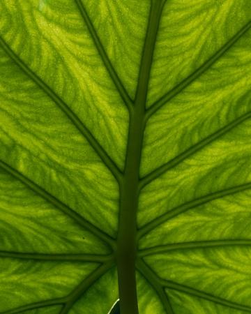 A green leaf backlit to show vein detail for background Imagens