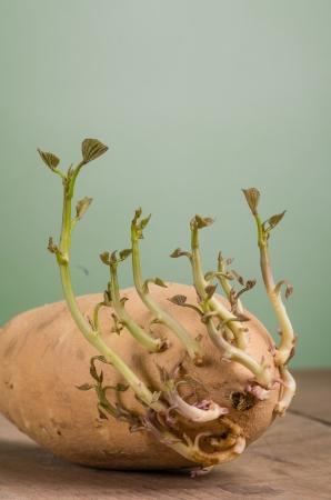 sweet potato: A sweet potato with new shoots starting to grow ready to plant Stock Photo