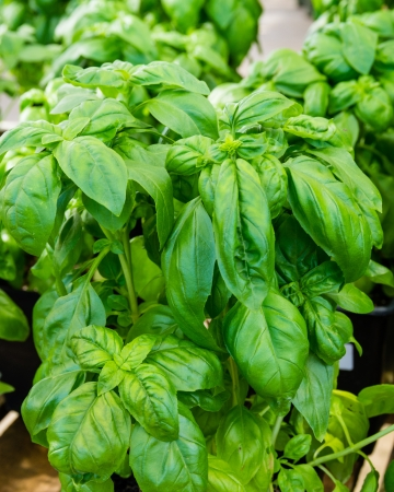 A green leaved basil plant growing in a pot used as a seasoning photo