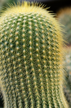 thorns  sharp: A cactus plant showing many sharp thorns Stock Photo