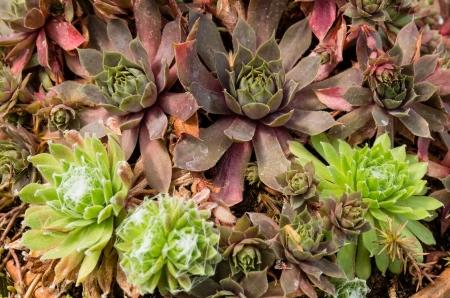 Sedum Pflanzen oder sempervivum für nachhaltige Dachbegrünungen eingesetzt