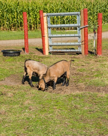 pygmy goat: A pair of pygmy goats grazing in a pasture