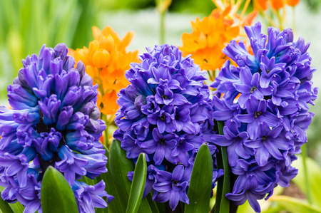 A group of purple or blue Hyacinth flowers in bloom Stock Photo