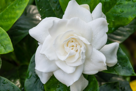 White blooming Gardenia flower with shiny green leaves