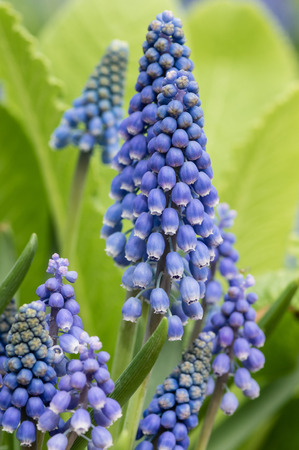Grape Hyacinth or Muscari flowers in bloom Stock Photo