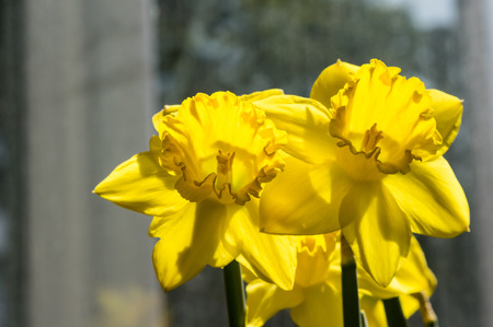 Yellow Daffodil flowers blooming in front of a window