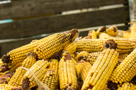 stored: Ears of dried corn or maize stored for food