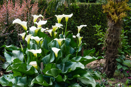 White Calla Lily plant in full bloom inside a large garden photo
