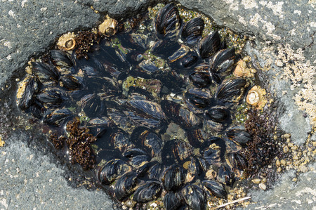 A group of mussels clinging to rocks in an intertidal zone