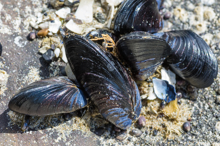 Group of mussels in an intertidal zone of the Pacific Ocean 免版税图像