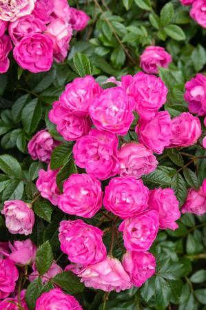 Colorful rose flowering plants in full bloom