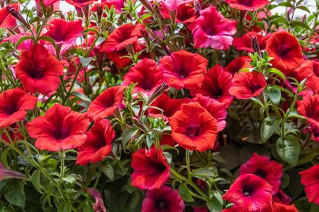 Colorful Petunias flowering plants in full bloom