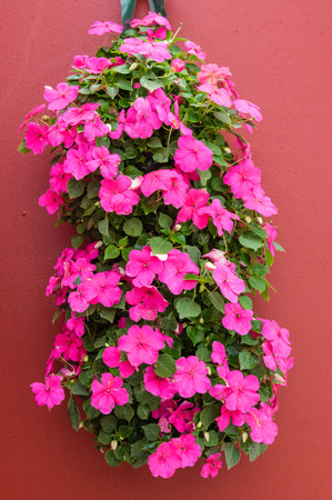 Pink blooming impatien flowers in hanging container photo