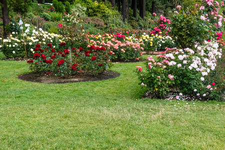 Planted flower beds with blooming roses surrounded by grass