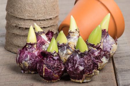 Hyacinth bulbs and pots for planting