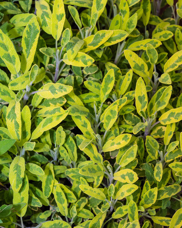 variegated: Variegated sage herb plant with colorful leaves