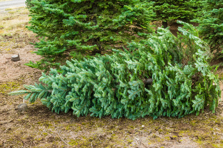 An evergreen tree cut for Christmas from a nursery photo