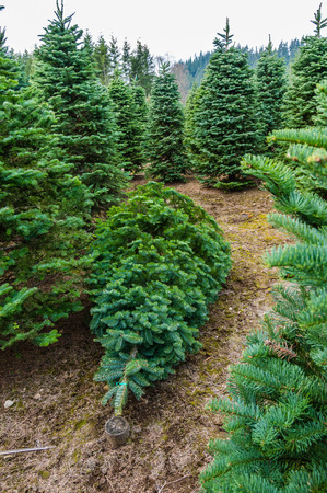 A Christmas tree cut and ready to move at a tree farm photo