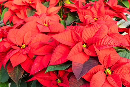 poinsettia plants in bloom used as traditional christmas decorations stock photo 30592292