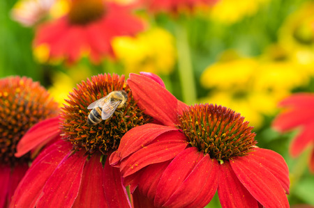 Red Echinacea flowers with a honeybee Фото со стока