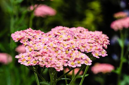 yarrow: Pink Yarrow in full bloom in the garden