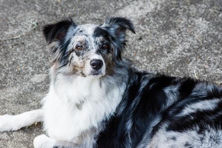 Australian Shepherd dog pet with white and gray markings laying on walk Stock Photo
