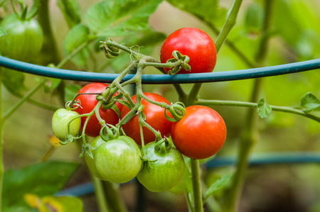 Red and green cherry tomatoes in the garden with metal support