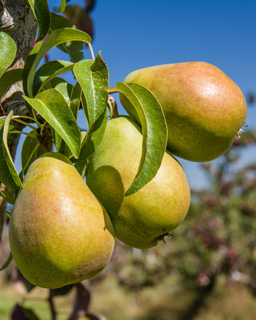 Group of Bartlett pears on the tree in a pear orchard