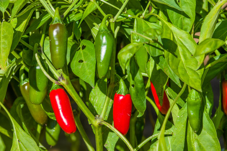Ripe hot Jalapeno peppers on the bush Banco de Imagens