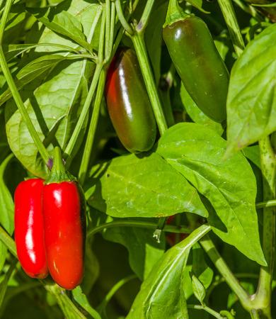 chiles picantes: Jalape�os chiles rojos y verdes en la selva