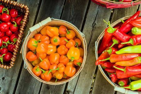 chiles picantes: Aj� de color naranja mostrado en una cesta recogiendo