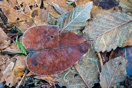 Background of frozen autumn leaves on forest floor