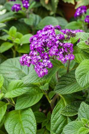 Purple flowering heliotrope plant with green leaves Banco de Imagens