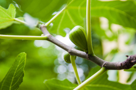 fig tree: Fig fruit growing on a fig tree branch Stock Photo