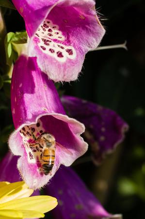 Honey bee polinating a red Digitalis purpurea flower