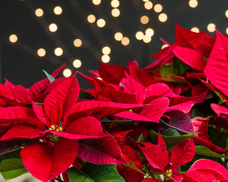 Red poinsettia flowers in bloom with lights and dark background