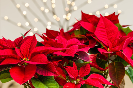 Bright red group of poinsettia flowers in bloom Banco de Imagens