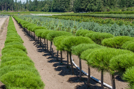 Rows of ornamental pine shrubs growing in a nursery Stock Photo