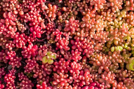 environmental concern: Sedum or sempervivum plants with round red leaves