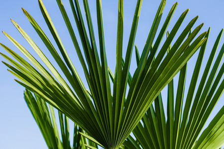 palm frond: Green palm frond or leaf showing with blue sky